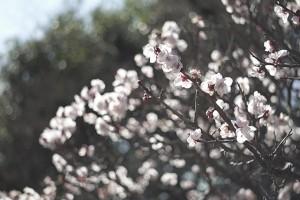 この花は桜?それとも梅?