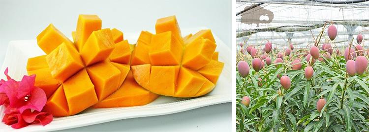 ユートピアファームのマンゴー